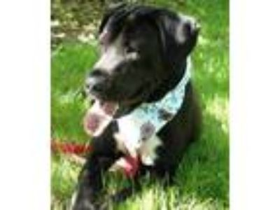 Adopt Michelle a Black Labrador Retriever / Mixed dog in Auburn, WA (24900556)