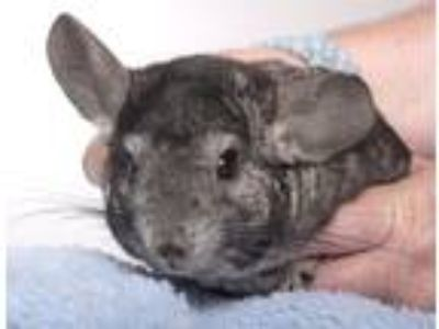 Adopt Avery a Silver or Gray Chinchilla (short coat) small animal in Chicago