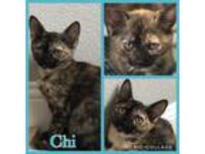 Adopt Chi a Tortoiseshell Domestic Shorthair (short coat) cat in Arlington/Ft