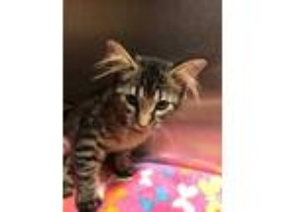 Adopt Bonnie a Gray or Blue Maine Coon / Domestic Shorthair / Mixed cat in