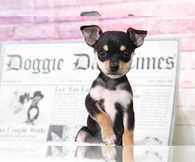 Chihuahua PUPPY FOR SALE ADN-128994 - Leroy Very Happy Male Chihuahua