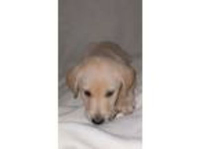 Adopt Heather a Labrador Retriever