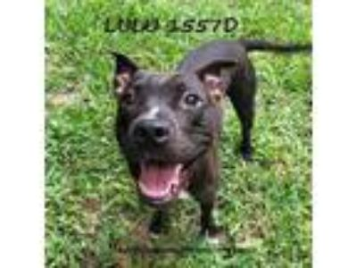 Adopt Lulu a Staffordshire Bull Terrier / Terrier (Unknown Type
