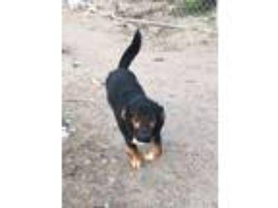 Adopt Roscoe a Basset Hound, Australian Shepherd