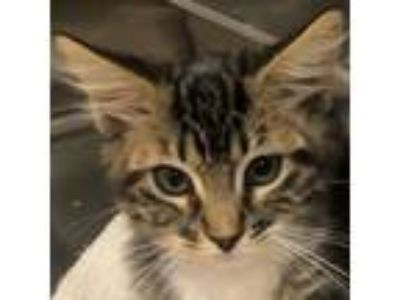 Adopt Queen a Domestic Medium Hair, Tabby