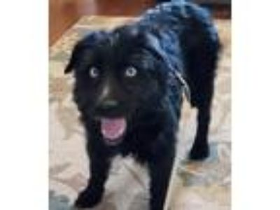 Adopt midnight a Black - with White Australian Shepherd / Terrier (Unknown Type