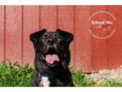 Adopt Oliver Monk a Black Labrador Retriever / Pit Bull Terrier / Mixed dog in