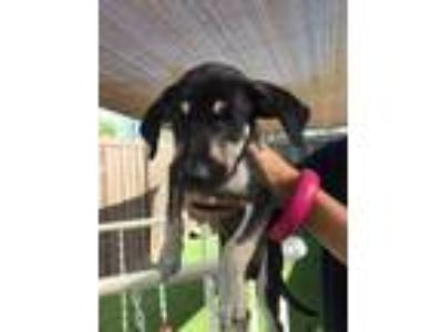 Adopt Scotty a Black Beagle / Mixed dog in Loxahatchee, FL (25127430)