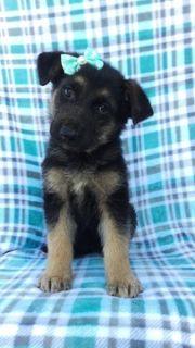 German Shepherd Dog PUPPY FOR SALE ADN-90817 - AKC German Shepherd
