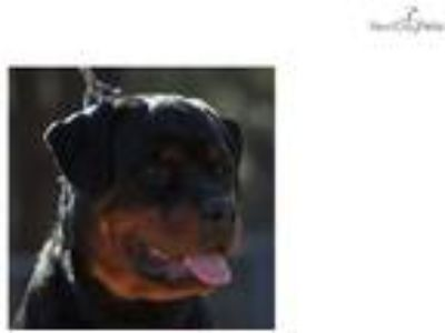Female European Rottweiler Puppy Available NOW