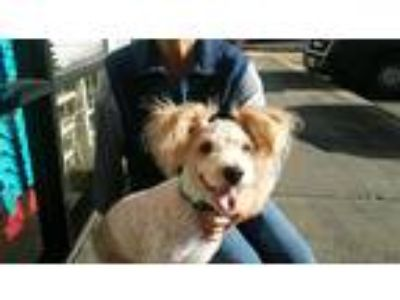 Adopt Boss a White - with Tan, Yellow or Fawn Poodle (Miniature) / Mixed dog in