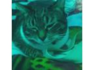 Adopt Tabby cat a Tiger Striped American Shorthair / Mixed cat in Woodland
