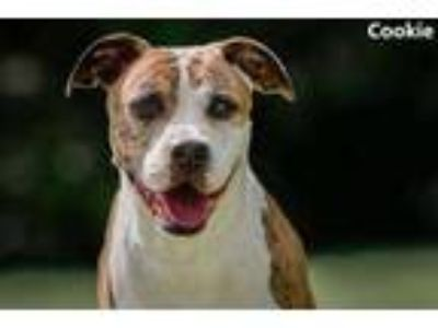 Adopt Cookie a Brindle American Pit Bull Terrier / Mixed dog in Cedar Hill