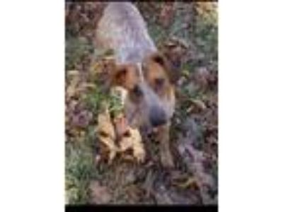 Adopt Ace a Hound, Australian Cattle Dog / Blue Heeler