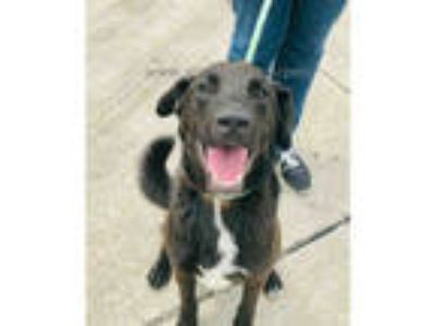 Adopt KING a Brown/Chocolate - with White Labrador Retriever / Husky / Mixed dog
