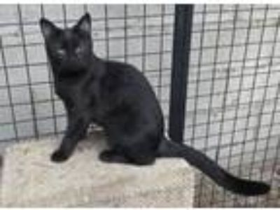 Adopt Tholian Pixie Dust a All Black Domestic Shorthair / Mixed (short coat) cat