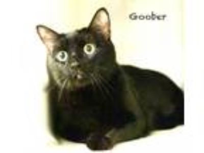 Adopt Baloo / Goober a All Black Domestic Shorthair / Mixed cat in Hot Springs