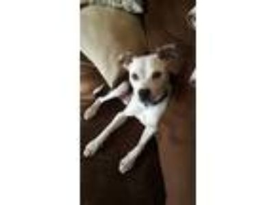 Adopt Sterling a White - with Black American Pit Bull Terrier / Mixed dog in