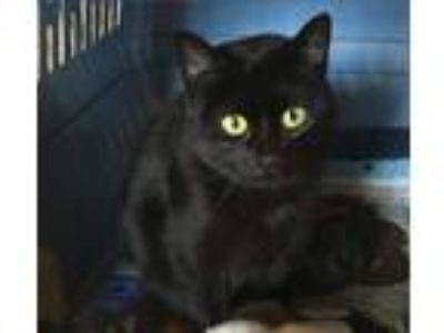 Adopt Jasmine a Black (Mostly) Domestic Shorthair (short coat) cat in Oneonta