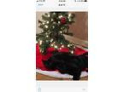Adopt Shadow a All Black American Shorthair / Mixed cat in Madison