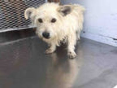Adopt a Tan/Yellow/Fawn Cairn Terrier / Mixed dog in Bakersfield, CA (25848413)