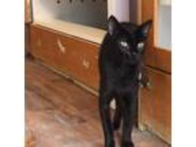 Adopt Holly a All Black Siamese cat in Wilton, NY (25903886)