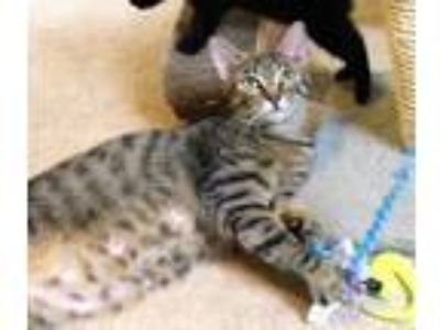 Adopt Beatrice a Tabby, Tiger