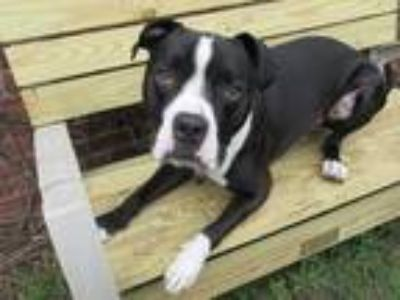 Adopt LEX a Black - with White Pit Bull Terrier / Mixed dog in Boston