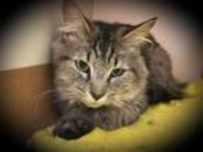 Adopt URSULA a Brown or Chocolate (Mostly) Domestic Shorthair / Mixed (short