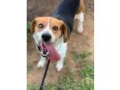 Adopt Archie 1016-19 a Black Beagle / Mixed dog in Cumming, GA (25923850)