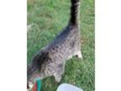 Adopt Gladys a Gray or Blue American Shorthair / Mixed cat in Swanton