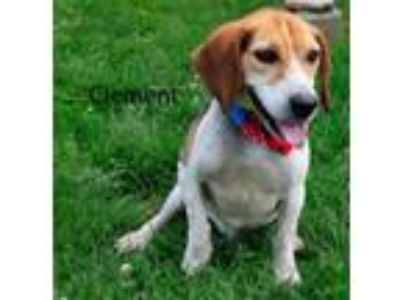 Adopt Clement a Beagle / Mixed dog in Pittsburgh, PA (25837235)