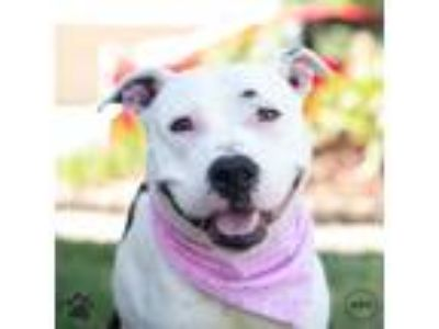Adopt Mileena a American Pit Bull Terrier / Mixed dog in Richmond, VA (25350438)