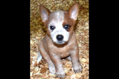 Australian Cattle Dog Puppies