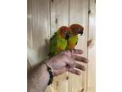 Adopt Jake & Elwood a Conure bird in Woodbridge, NJ (25351326)
