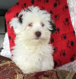 Havanese PUPPY FOR SALE ADN-99823 - Adorable Havanese Puppies