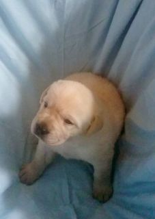 Labrador Retriever Puppies, AKC OFA, Yellow Pups Champion Sired