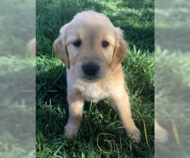 Golden retriever puppies for sale el paso tx