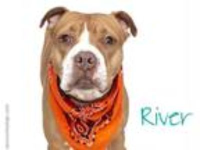 Adopt RIVER a Tan/Yellow/Fawn - with White American Pit Bull Terrier / Mixed dog