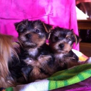 teacup yorkies for rehoming