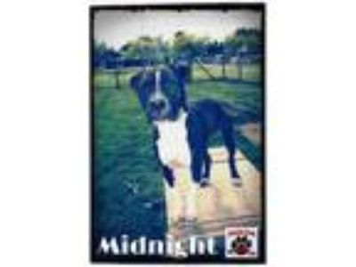 Adopt Midnight a Black American Pit Bull Terrier / Boxer / Mixed dog in