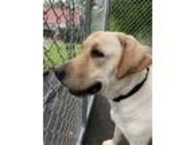 Adopt Kathy a Tan/Yellow/Fawn Labrador Retriever / Mixed dog in New Freedom