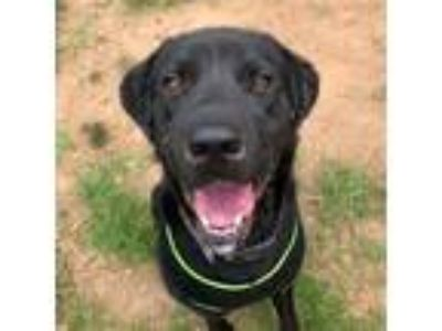 Adopt Rooster a Black Labrador Retriever dog in Lynchburg, VA (25581320)