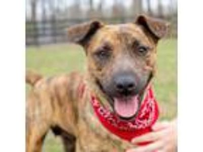 Adopt Jasmine a Brindle Feist / Boxer / Mixed dog in West Grove, PA (24978562)
