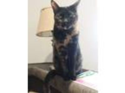 Adopt Daisy a Tortoiseshell Calico / Mixed cat in Lancaster, CA (22579394)