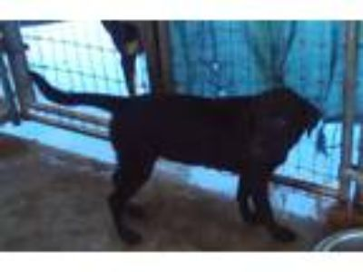 Adopt Toni a Black Labrador Retriever / Mixed dog in Bonifay, FL (23359102)