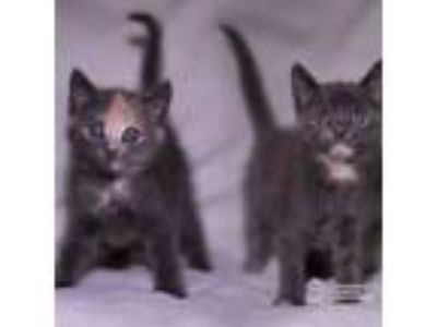 Adopt Aurora & Jasmine a Domestic Short Hair