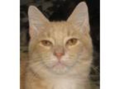 Adopt Samual a Domestic Short Hair