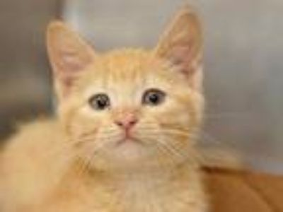 Adopt Shaggy a Orange or Red Domestic Shorthair / Domestic Shorthair / Mixed cat