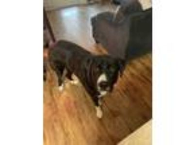 Adopt Charlie a Black - with White Border Collie / Great Pyrenees / Mixed dog in
